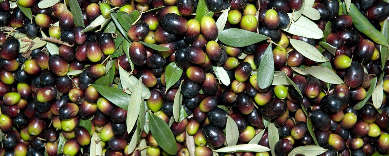 L'olio dei Monti Pisani