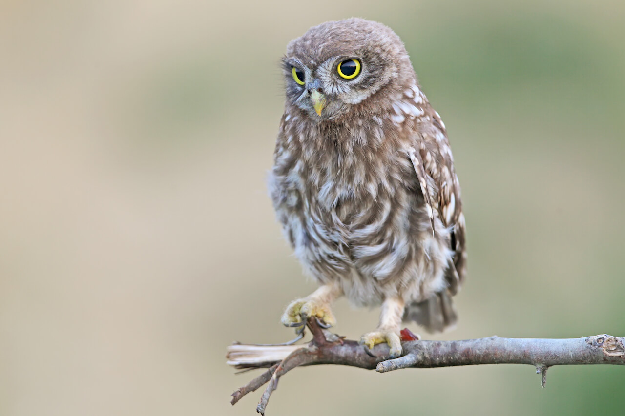 Ancient Owl Fair | Crespina