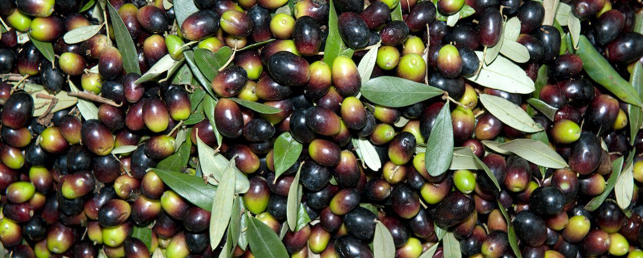 Sagra dell'olio novo di oliva e del baccalà | La Serra, San Miniato