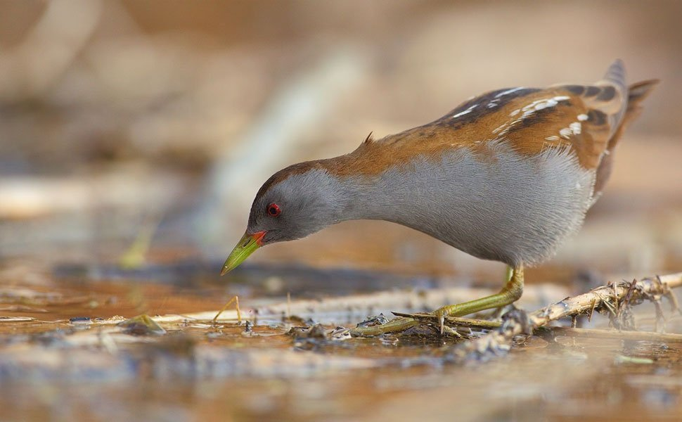 "Eurobirdwatch 2019 in the Natural Reserve of ""Lago di Santa Luce"""